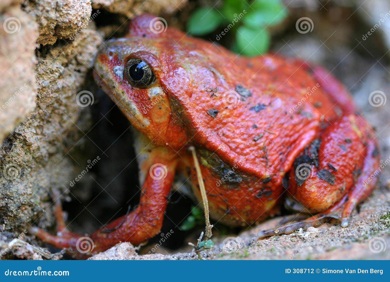 Pomidor żaba