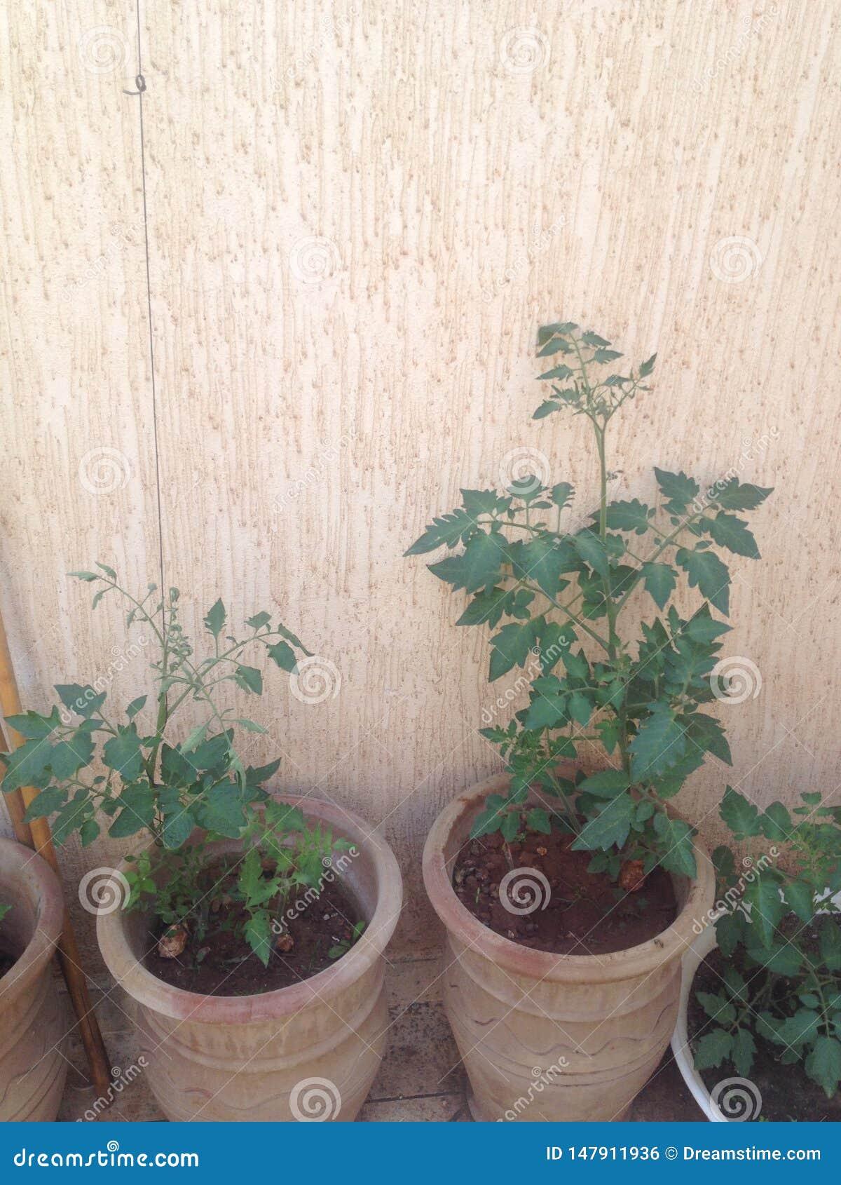Pomidor rozgałęzia się na tarasie