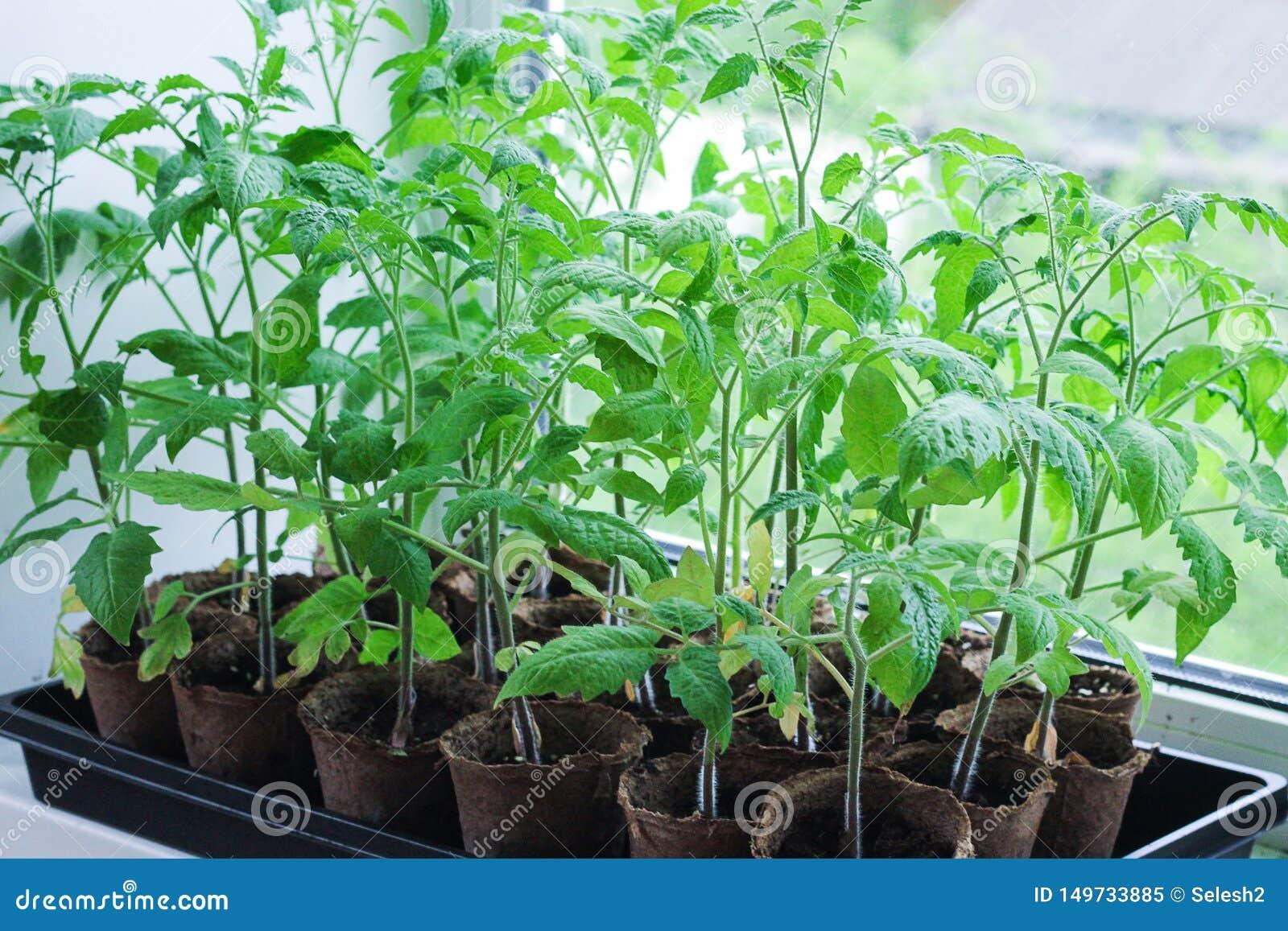 Pomidorowe rozsady r na okno w wiośnie wiele mszarników garnków stojak w rzędach