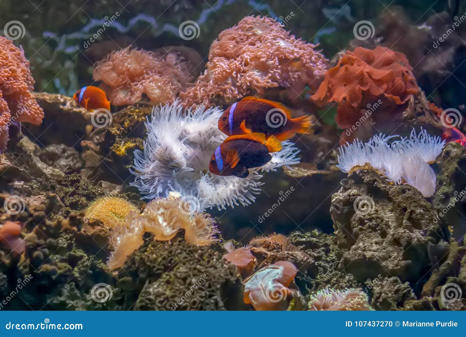 Pomidorowych clownfish bąbla porady pobliski anemon