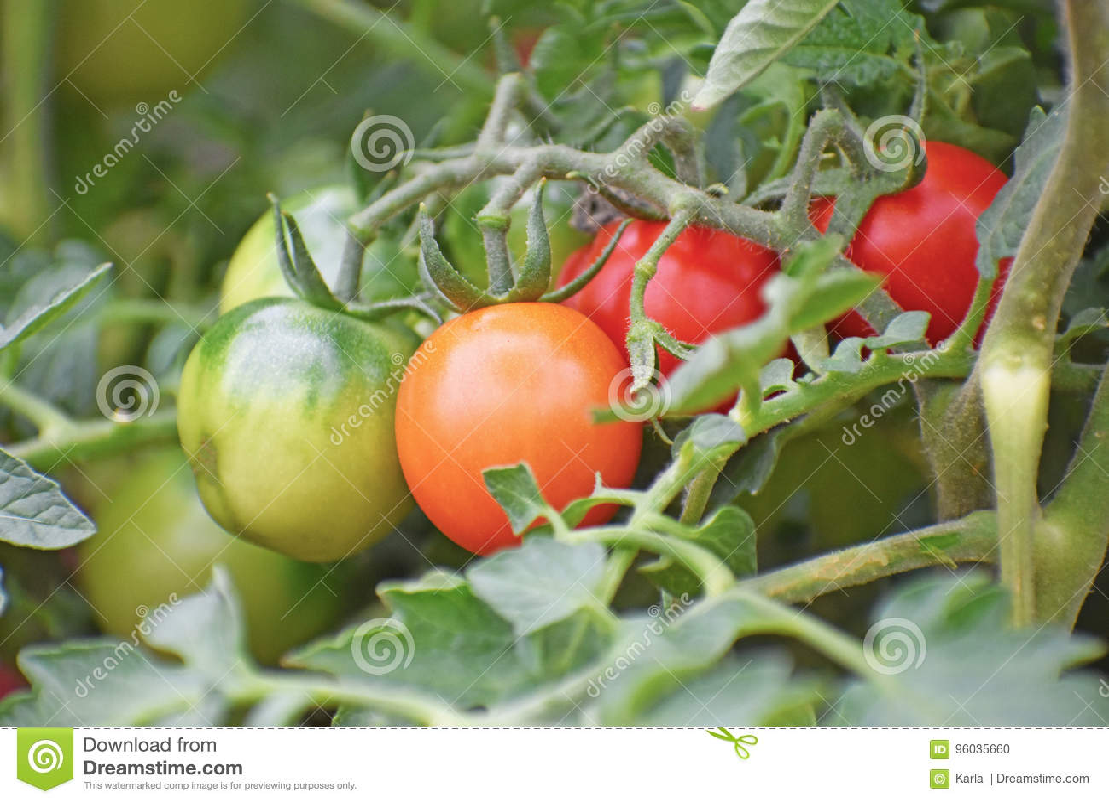 Pomidory na winogradzie
