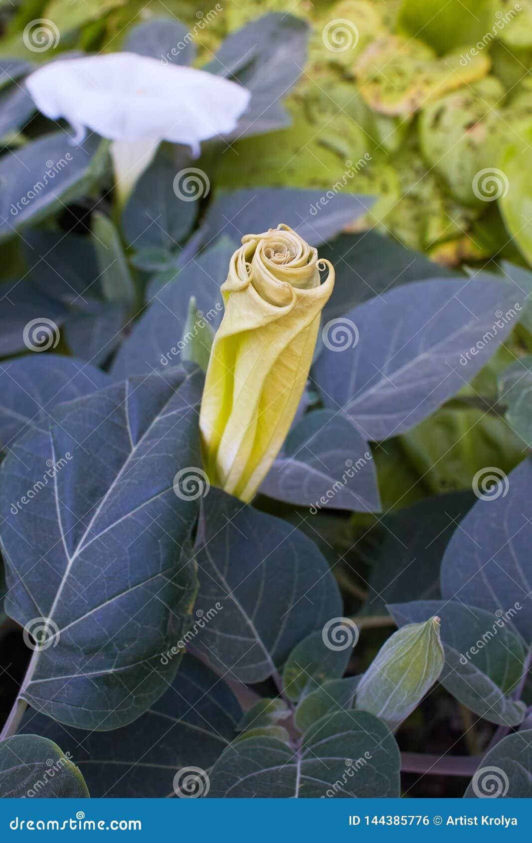 Pomme d ?pine, plante ornementale toxique