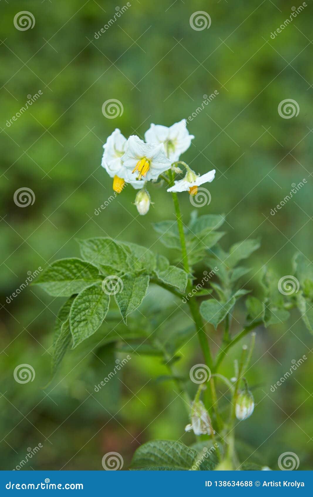 Pomme de terre en fleur Fleurs de pomme de terre blanche au foyer mou