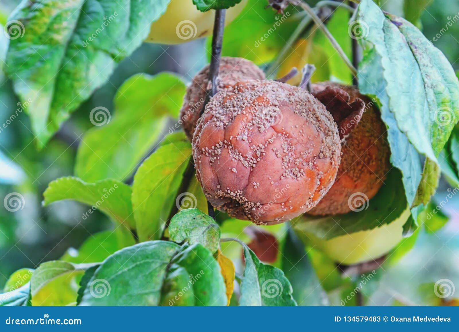 Pomme putréfiée accrochant sur la pomme, pomme de monilioz