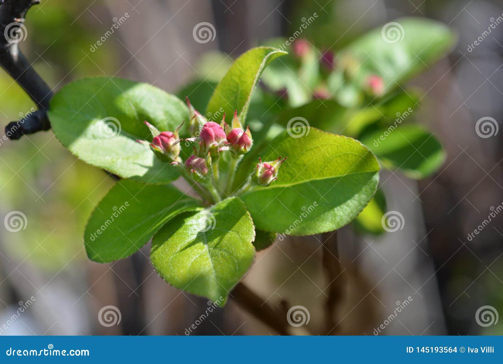 Pomme sauvage fleurissante japonaise