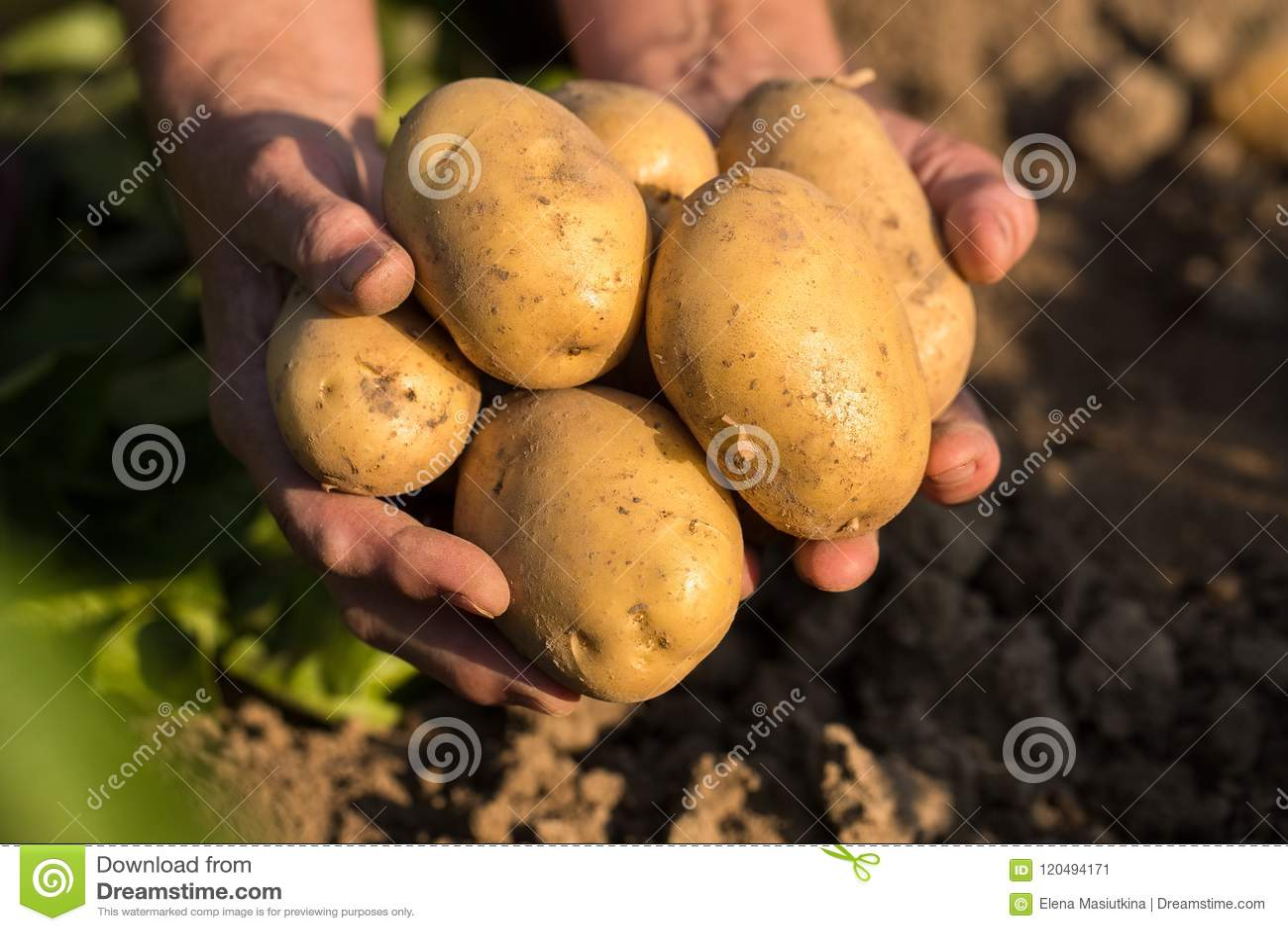 Pommes de terre jaunes sur des mains de jardinier On Potato Field en Sunny Da