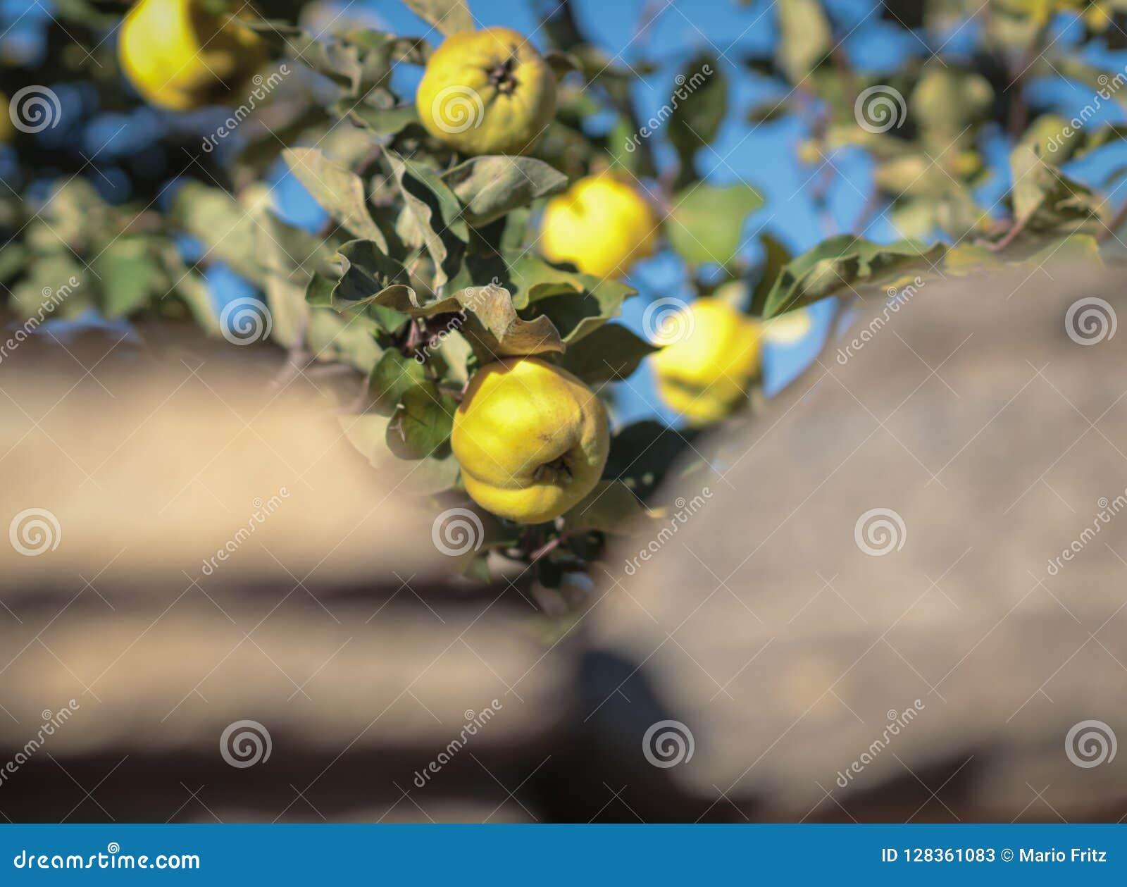 Pommes jaunes vertes accrochant et s élevant sur un arbre vert dans un jardin