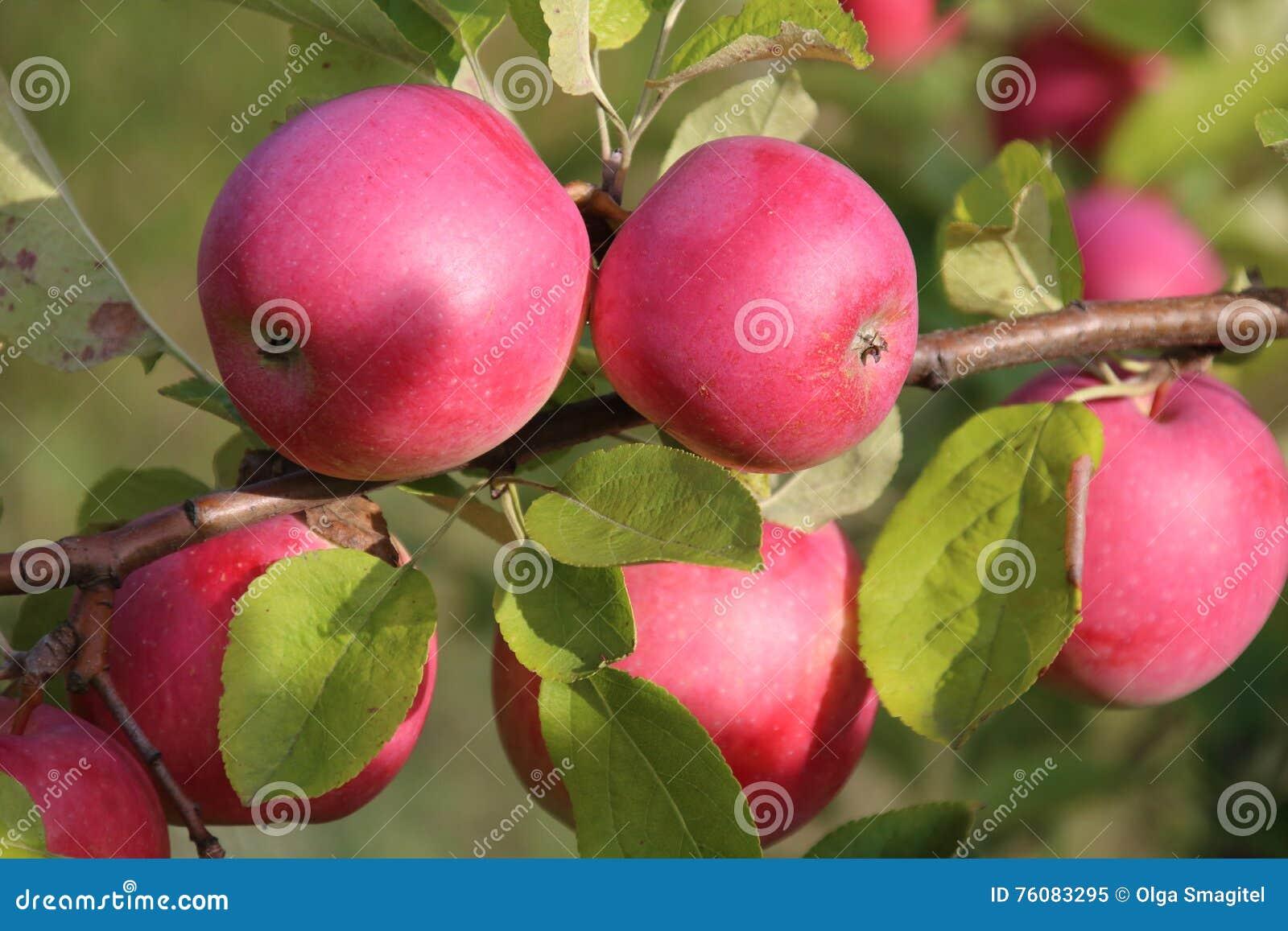 Pommes mûres sur l arbre