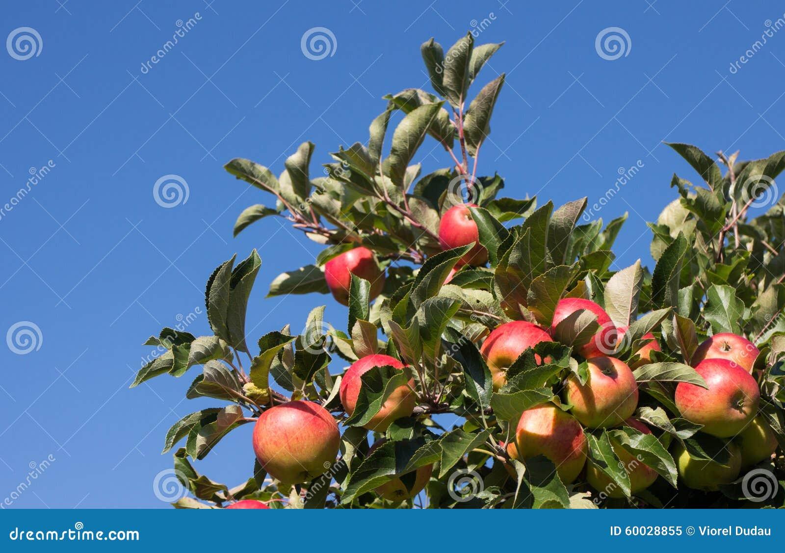 Pommes organiques dans la caisse