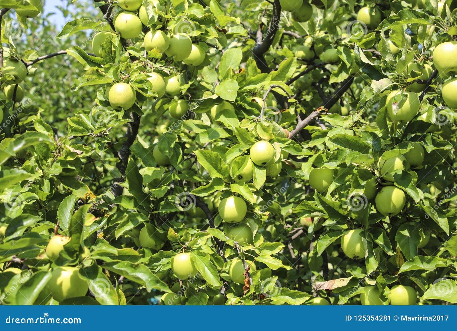 Pommes organiques pendant d une branche d arbre dans un champ de pommiers