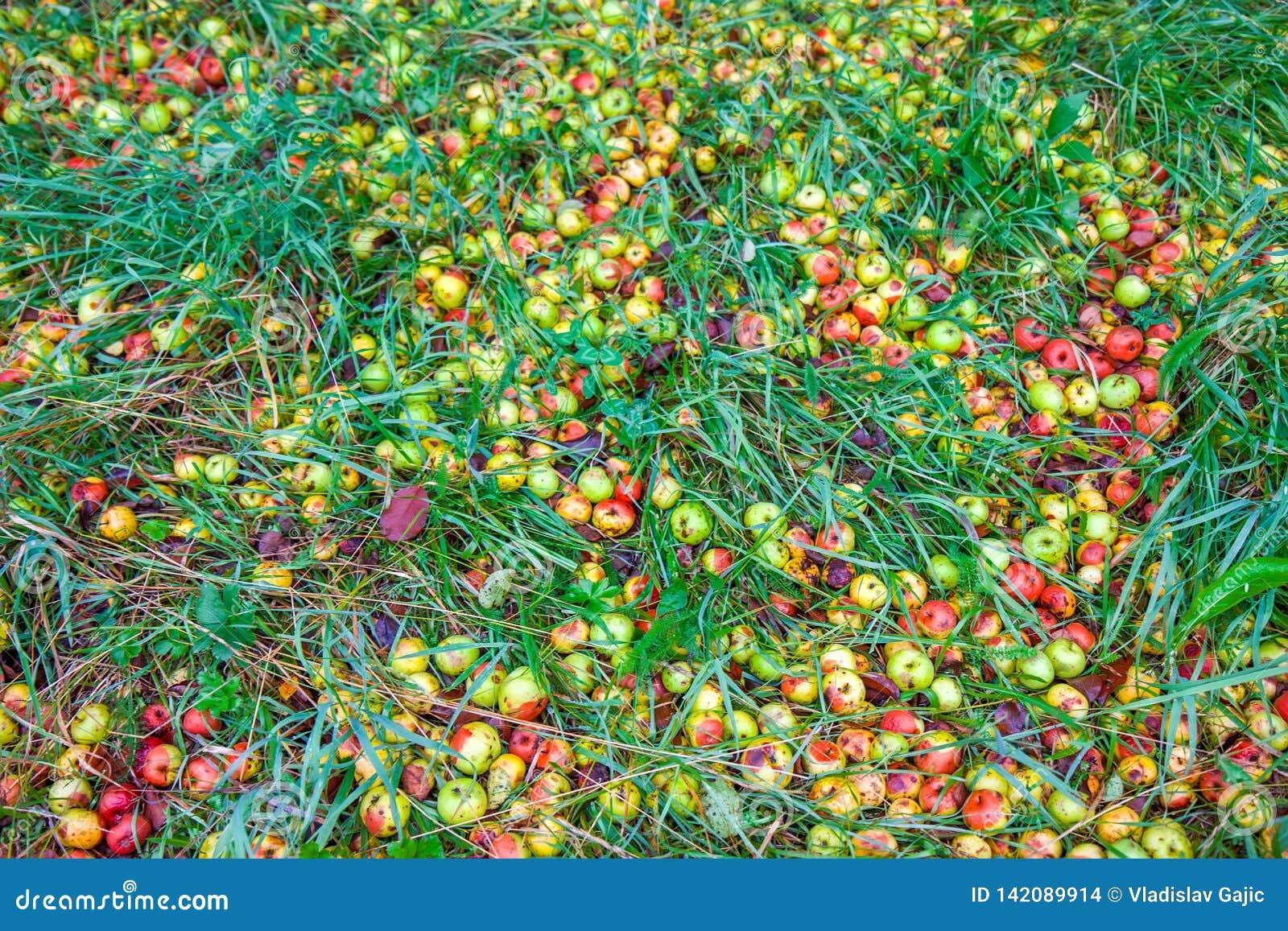 Pommes putréfiées tombées sur l herbe dans le jardin