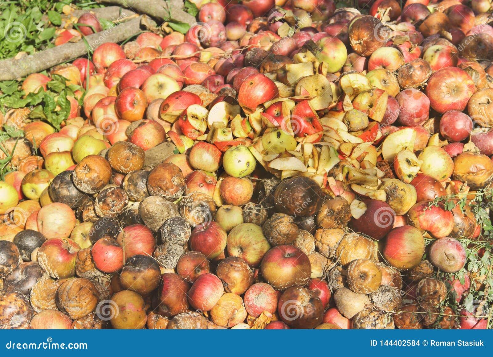 Pommes putr?fi?es dans le jardin