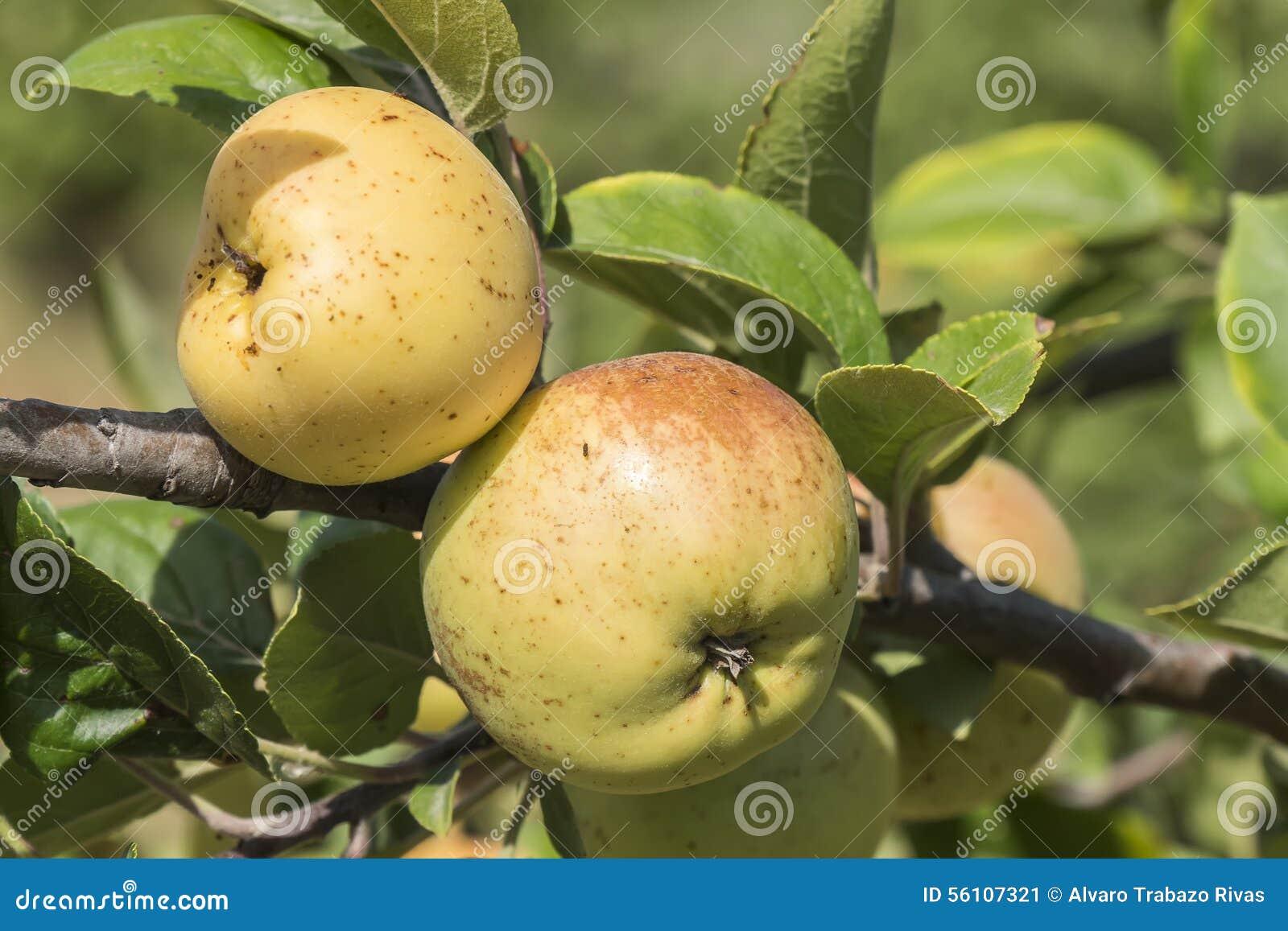 Pommes sur l 39 arbre pommier photo stock image 56107321 - L arbre le pommier ...