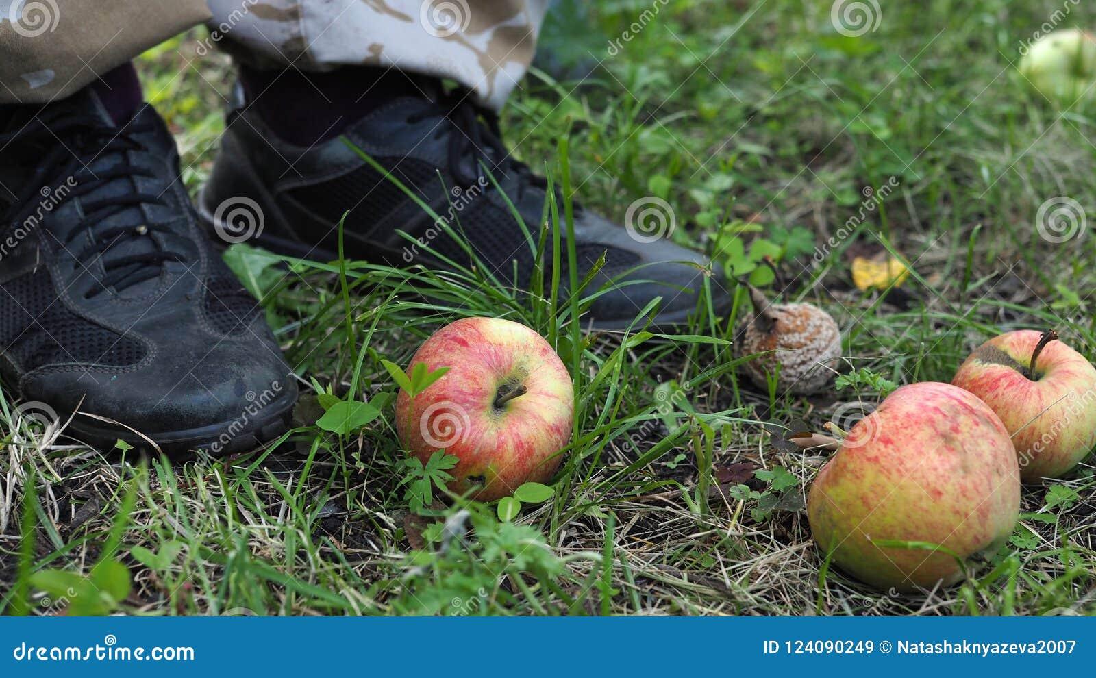 Pommes tombées non mûres et putréfiées au sol dans un jardin à côté des pieds humains