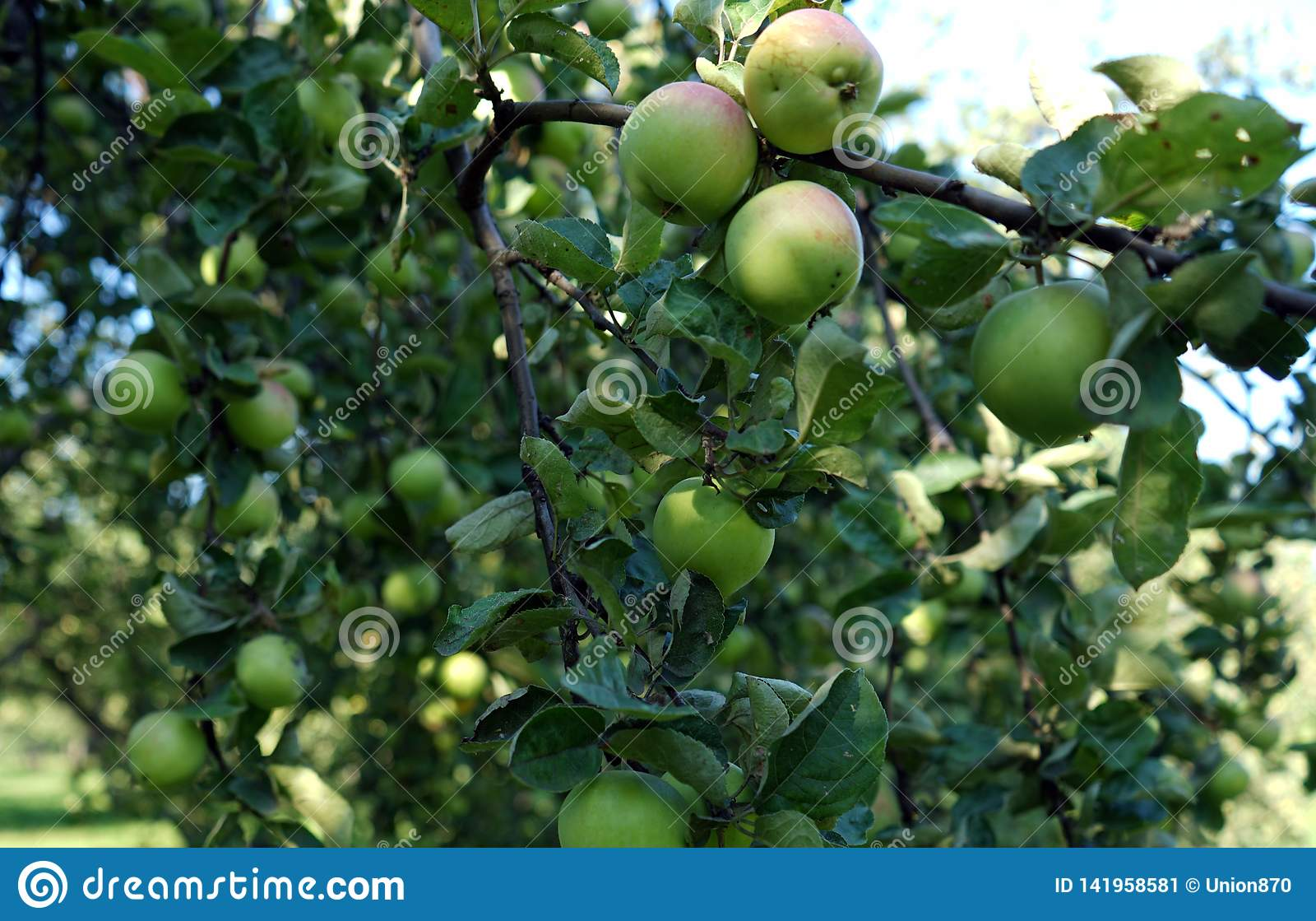 Pommes vertes s élevant sur une branche d arbre dans le champ de pommiers