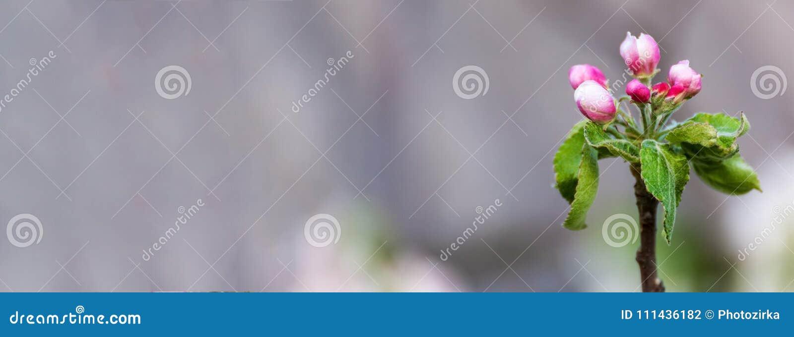 Pommier Avec Les Bourgeons Devoiles Par Rose Photo Stock Image Du