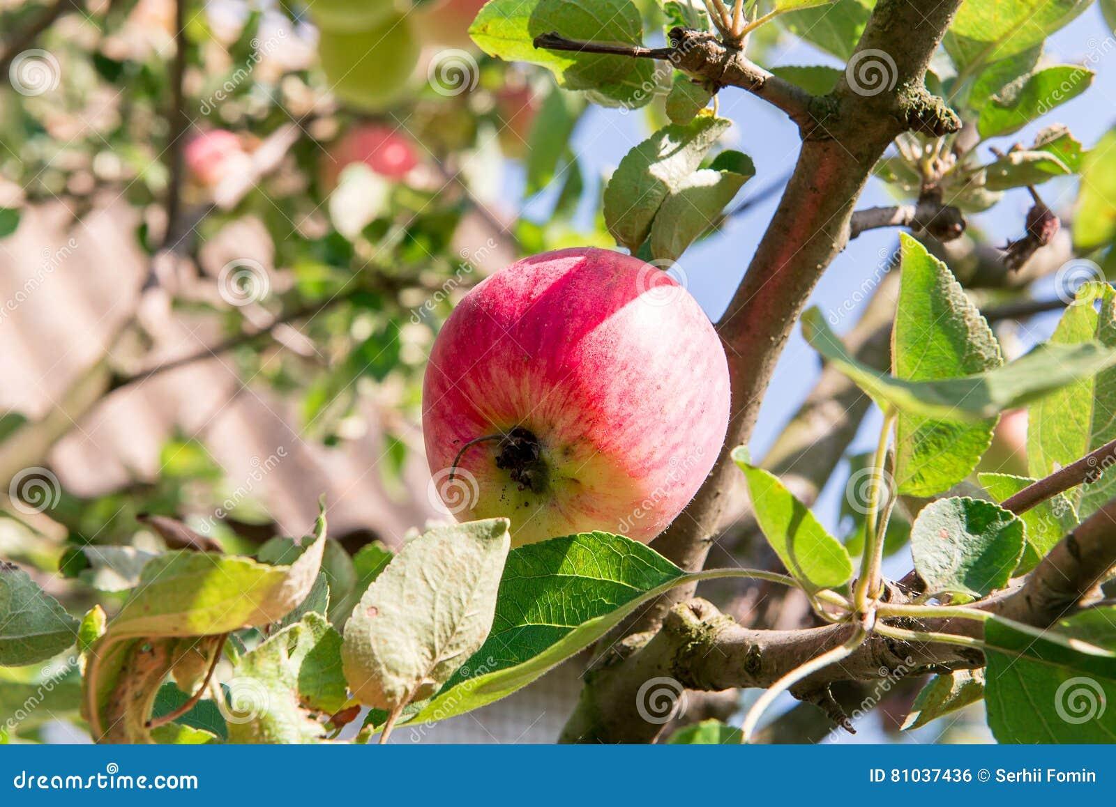 pommier avec les pommes rouges le pommier dans le jardin fruits de jardin d 39 t pommes vertes. Black Bedroom Furniture Sets. Home Design Ideas