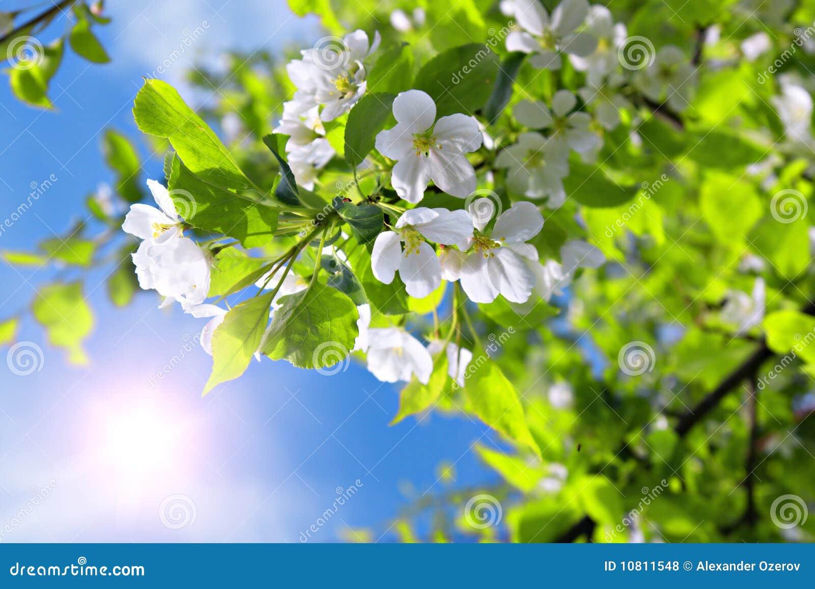 Pommier de fleur de branchement et ciel bleu avec le soleil photos libres de droits image - Fleur du soleil ...