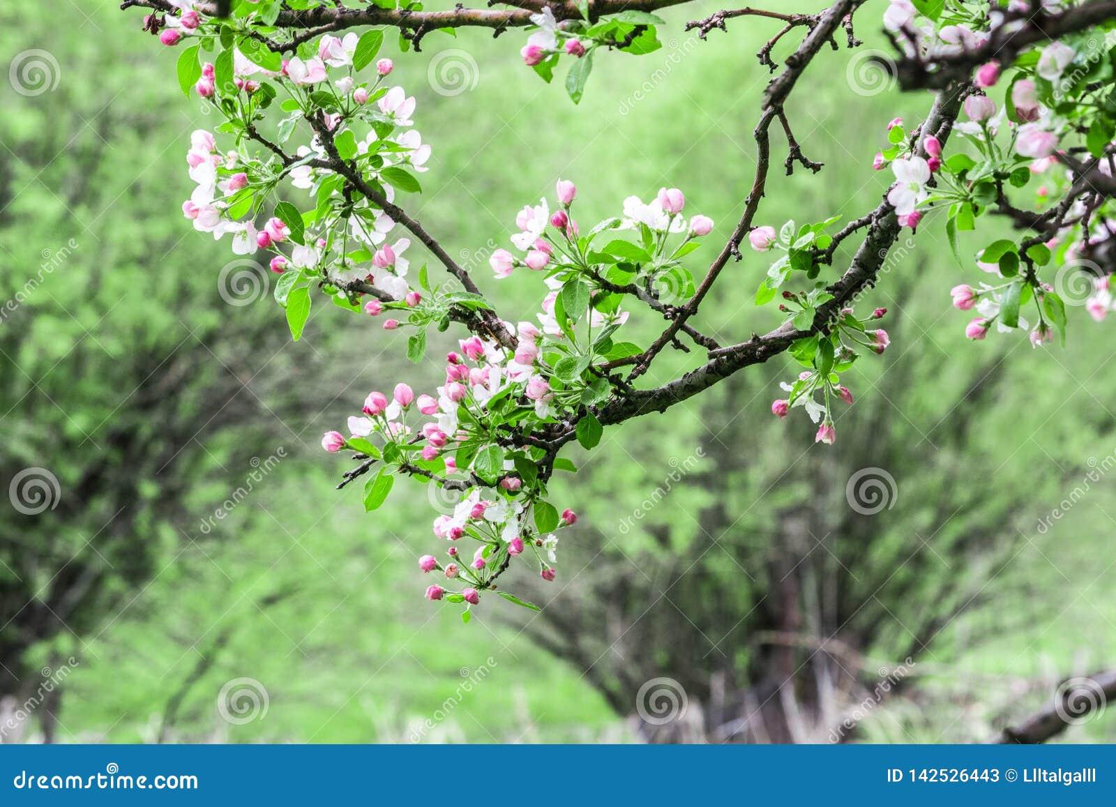 Pommiers fleuris Nature dans Tekeli Ressort kazakhstan