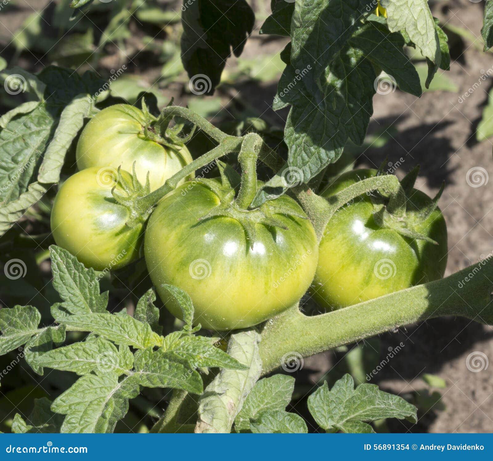 Pomodori maturati