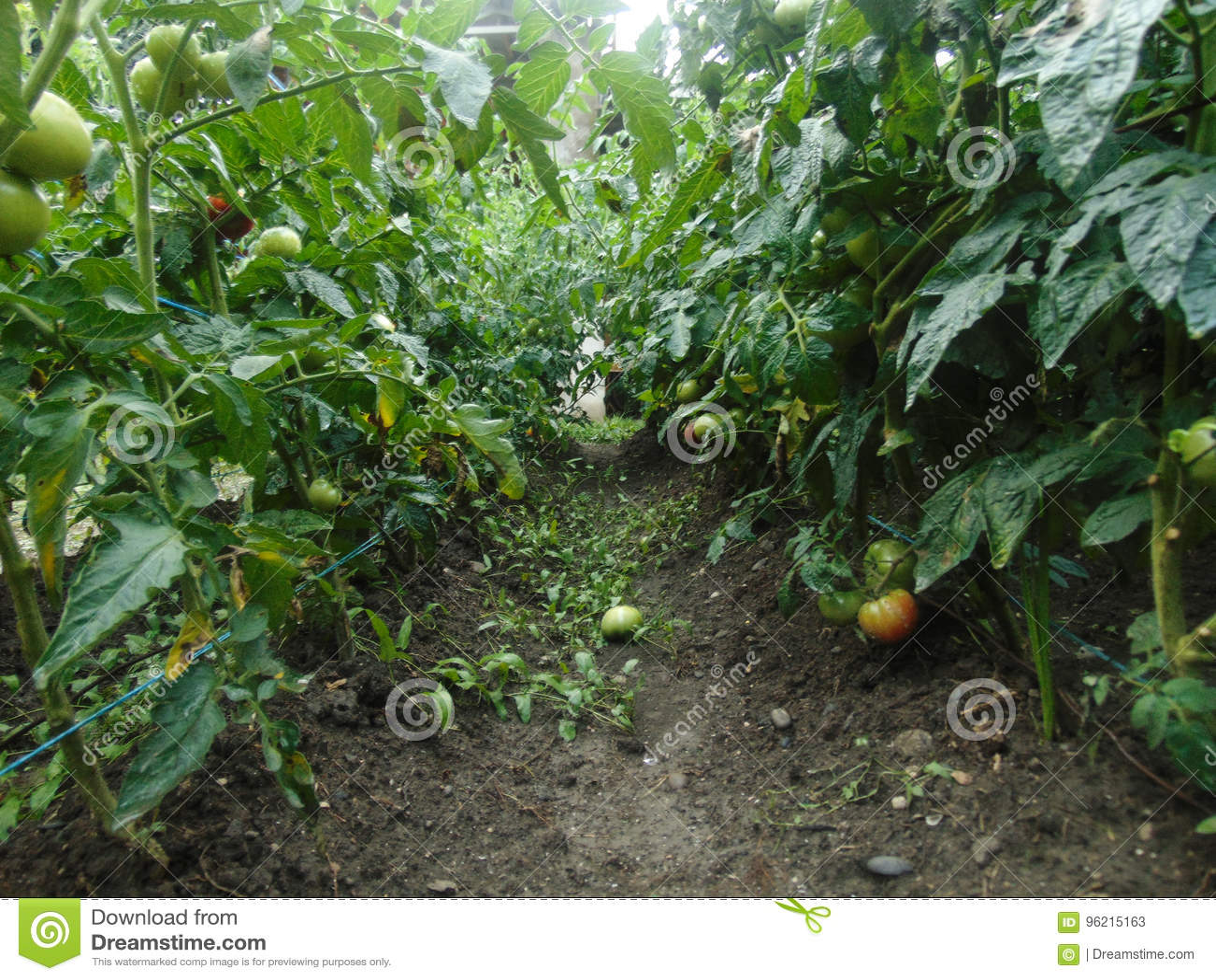Pomodoro del giardino