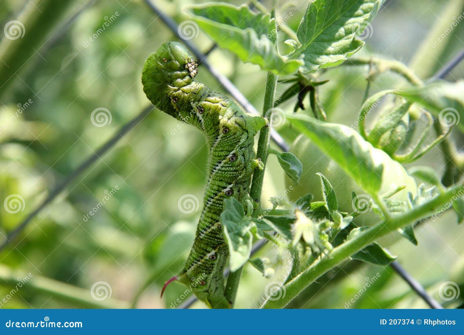 Pomodoro enorme Hornworm