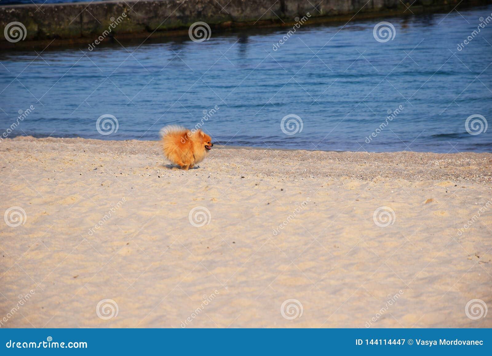 Pomorskiego Spitz mały pies