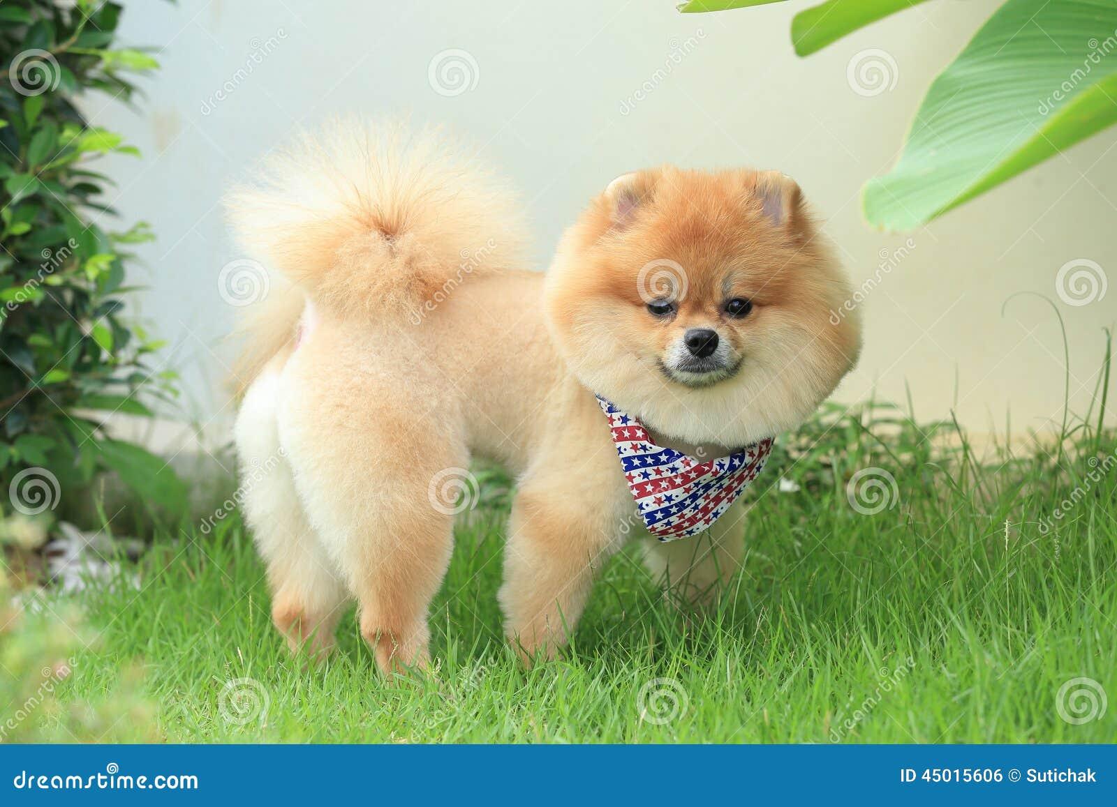 Pomorzanka psiego szczeniaka śliczny zwierzę domowe