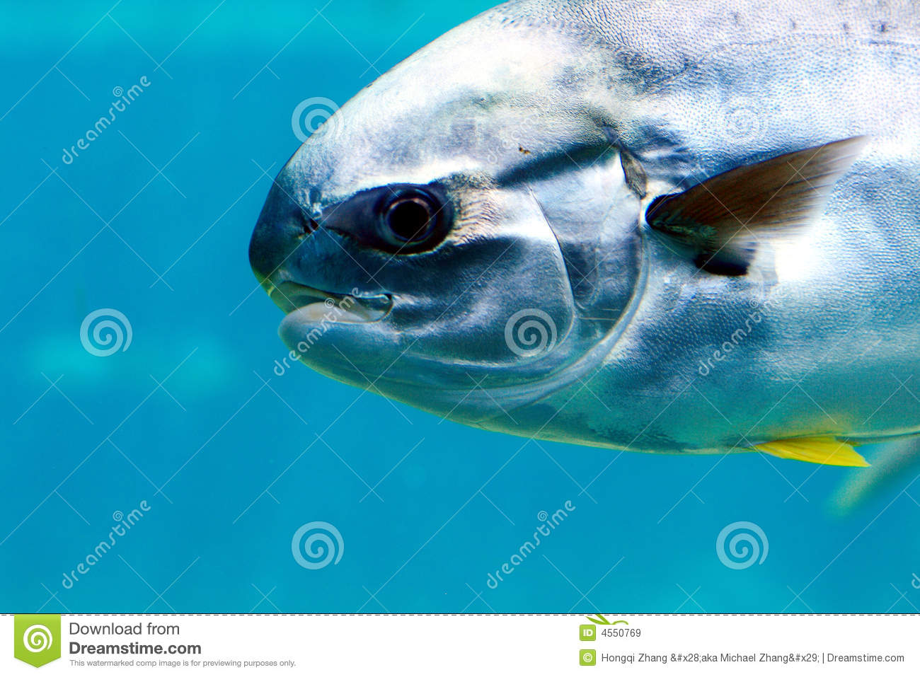 Pompano fish royalty free stock images image 4550769 for Picture of pompano fish