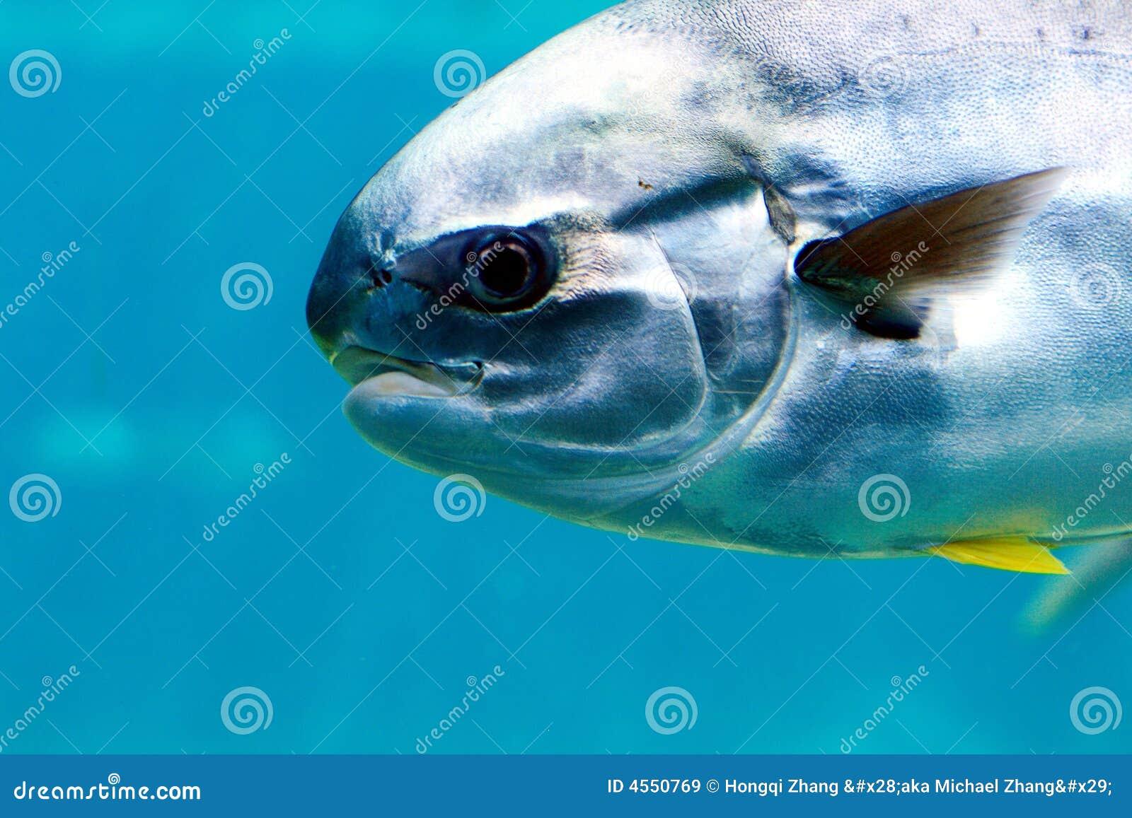Pompano Fish Royalty Free Stock Images Image 4550769