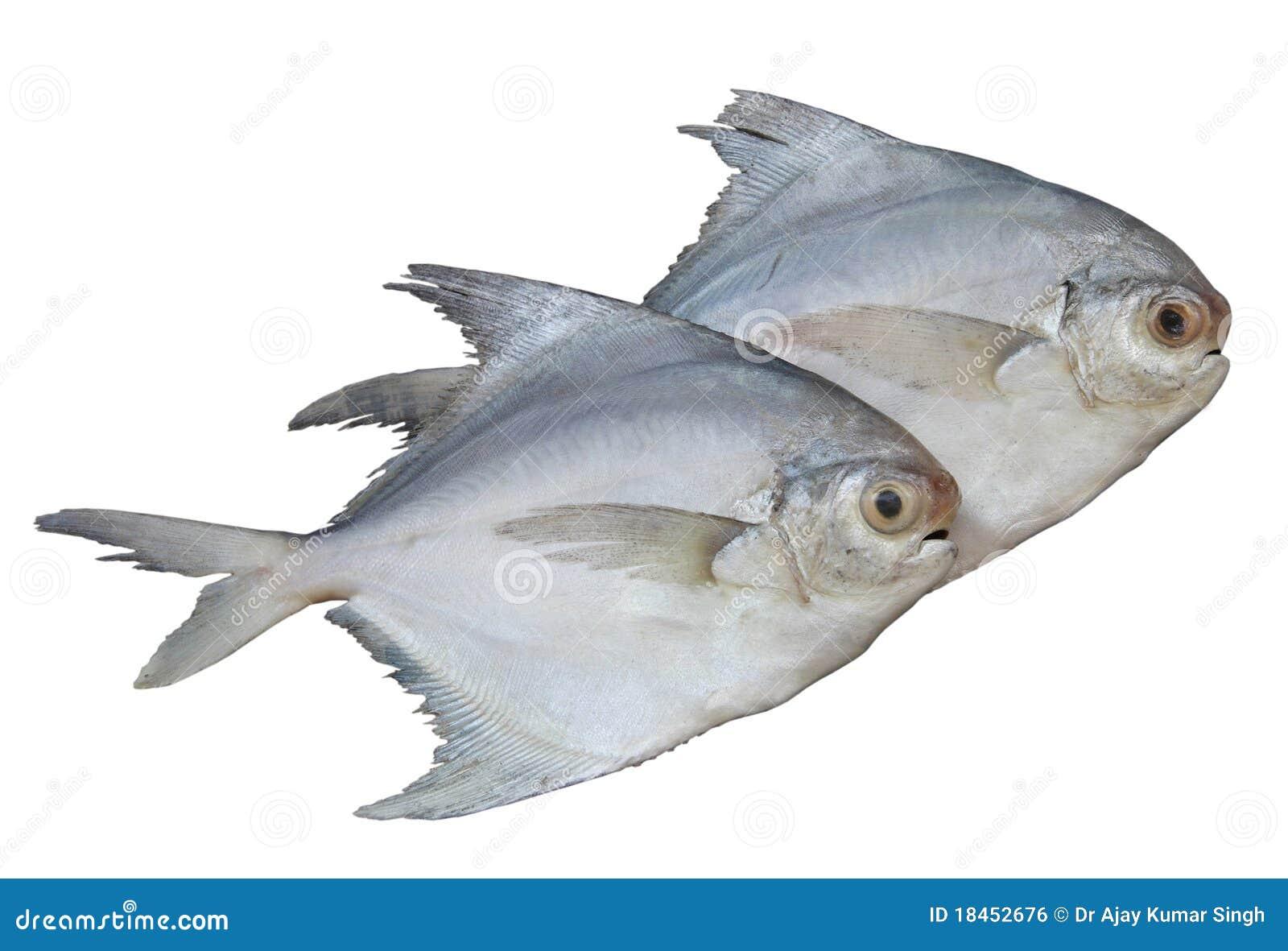 Pomphret Fish Isolated On White Stock Photo - Image of ...