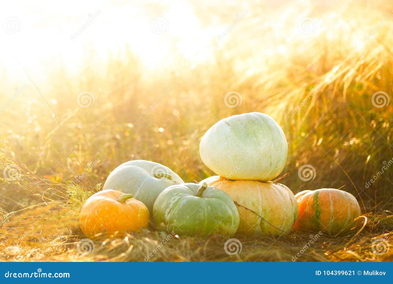 Pompoenen openlucht Pompoen op droog de herfst geel gras over zonsondergang of zonsopgang sunbeam