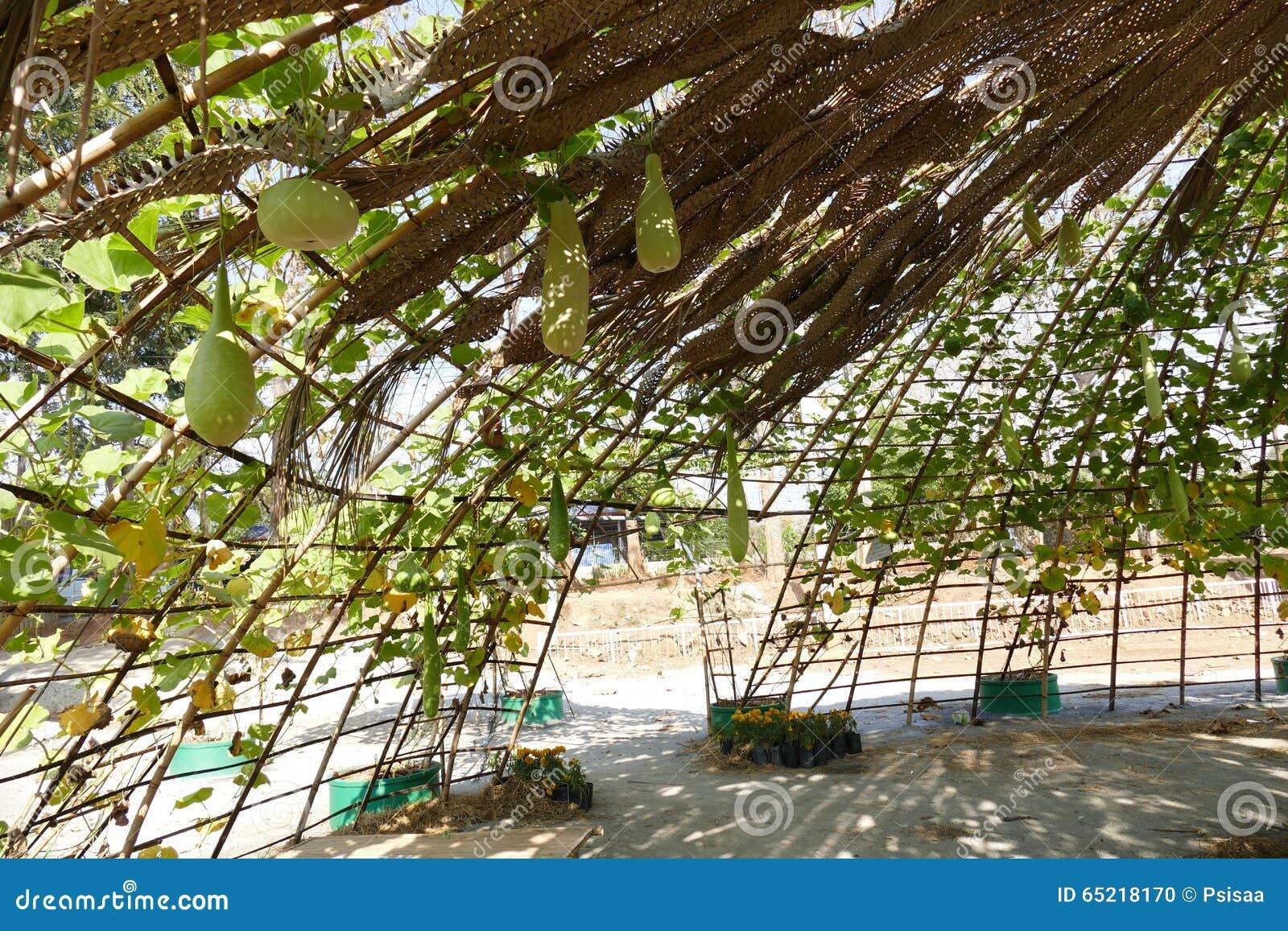 Pompoenkalebasboom het groeien op boogpergola stock foto afbeelding 65218170 - Pergola verkoop ...