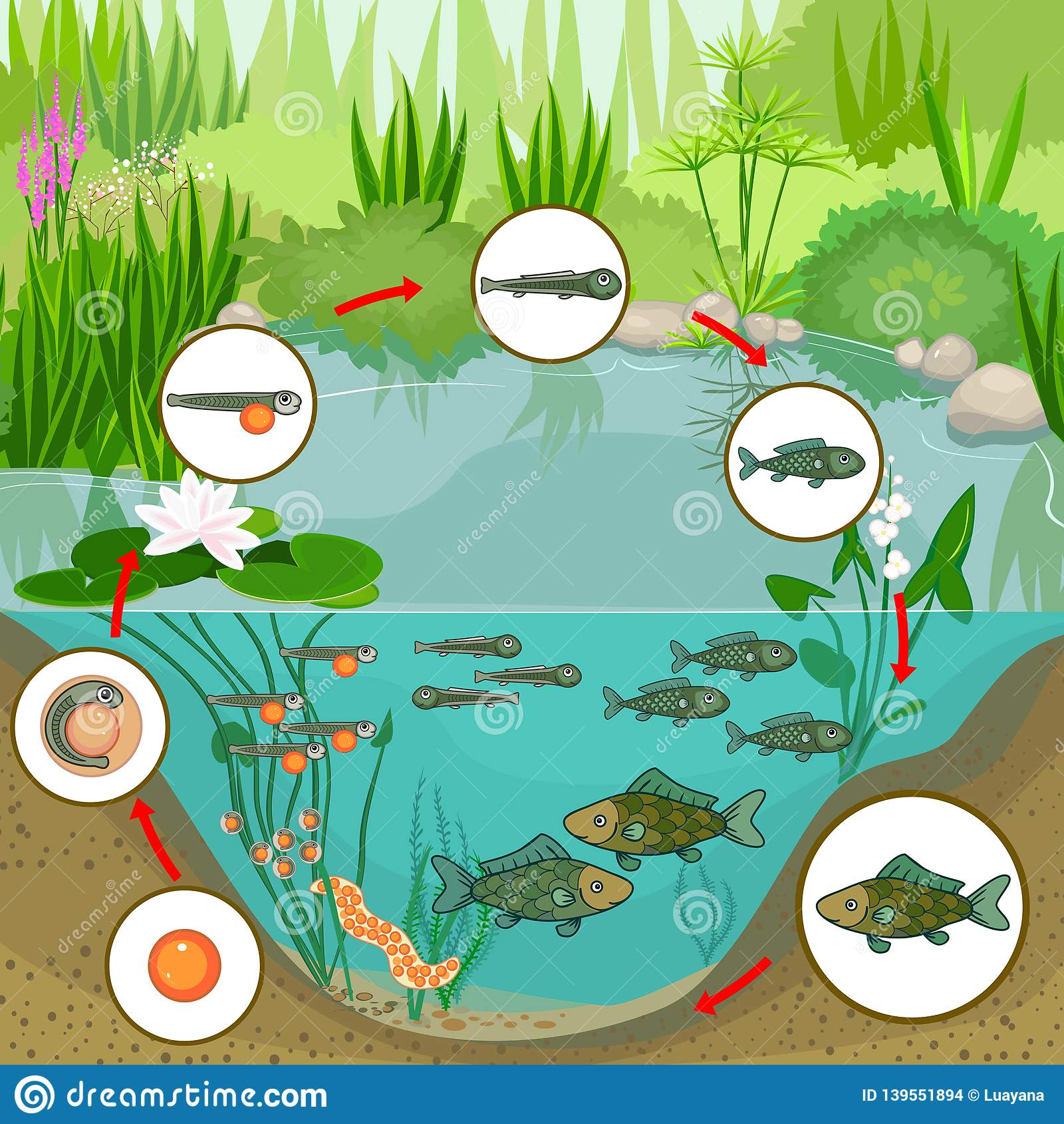 Pond Ecosystem And Life Cycle Of Fish  Sequence Of Stages Of Development Of Fish From Egg To
