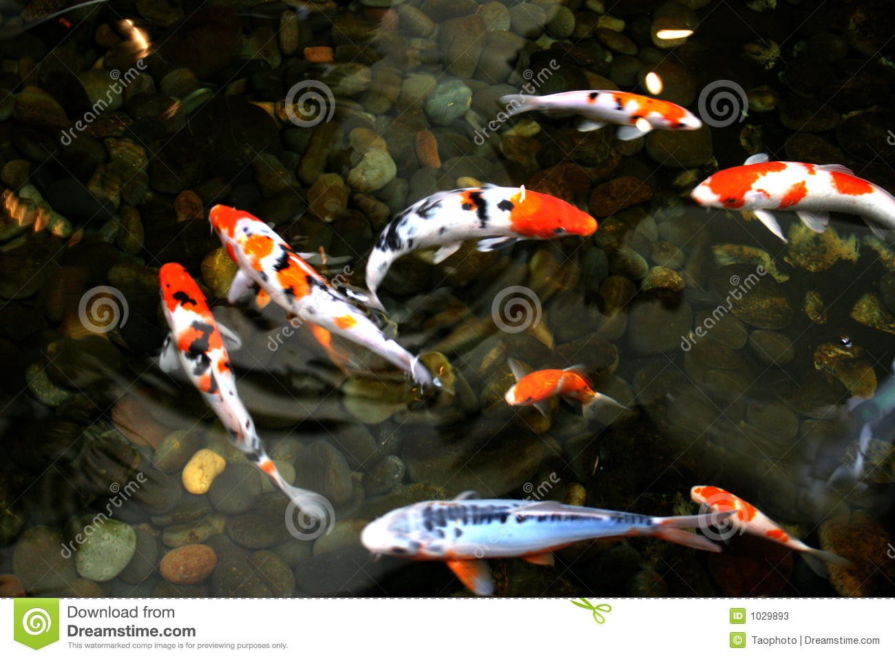 Pond fish stock photos image 1029893 for Colorful pond fish