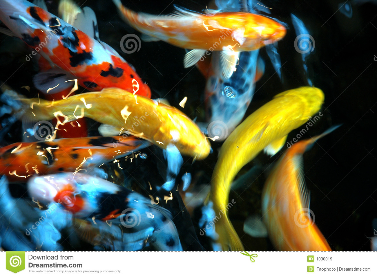 Pond fish royalty free stock images image 1030019 for Colorful pond fish