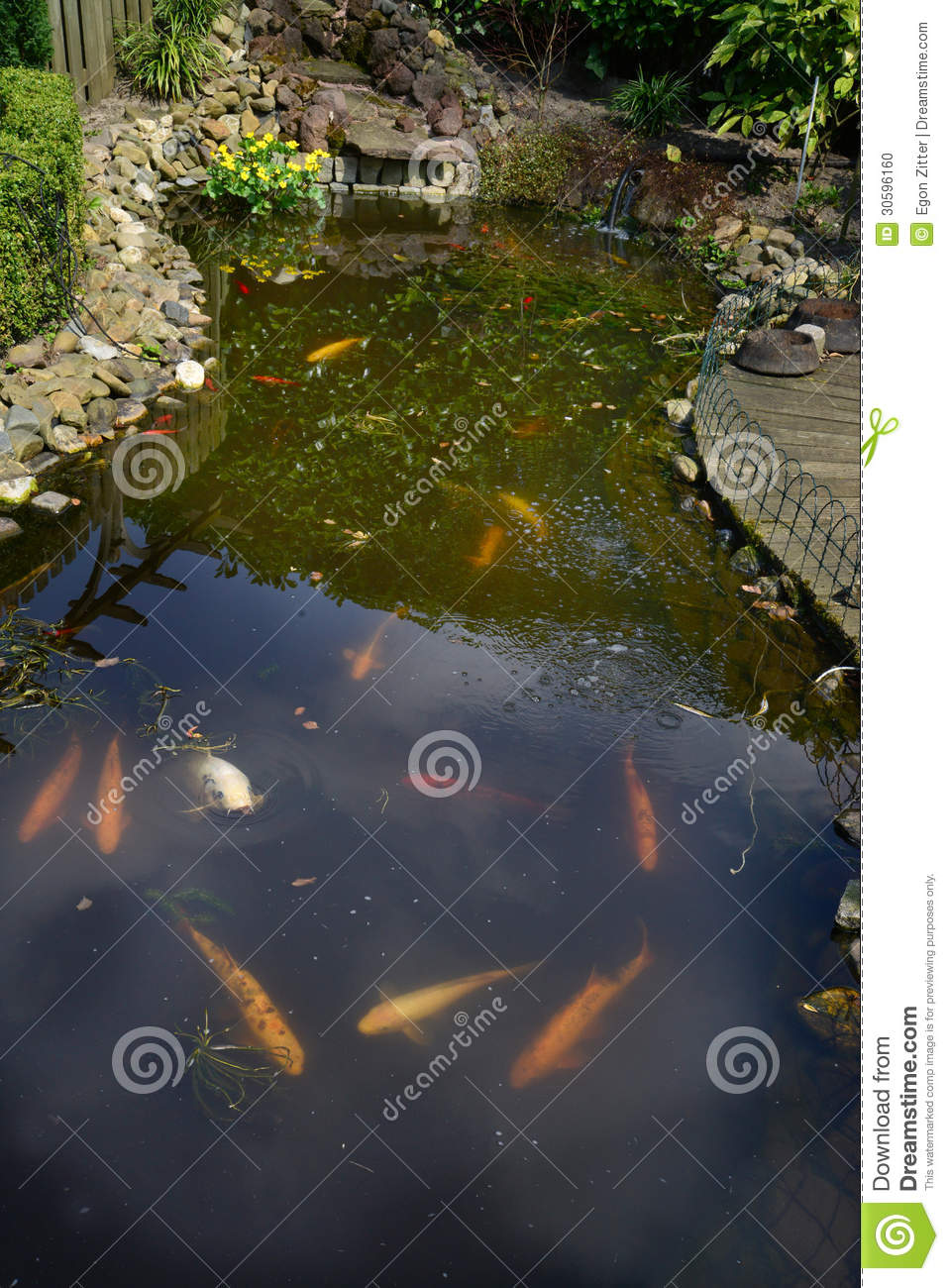 Pond with fish stock photo image 30596160 for Ornamental pond fish golden