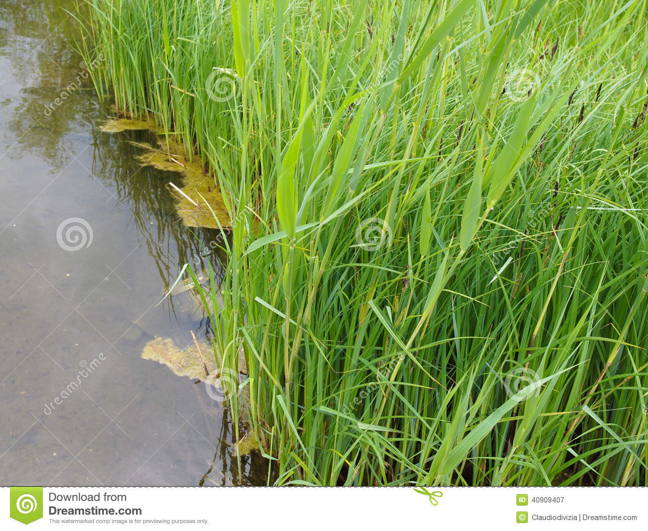Pond grass stock image image of green reflection liquid for Green pond water