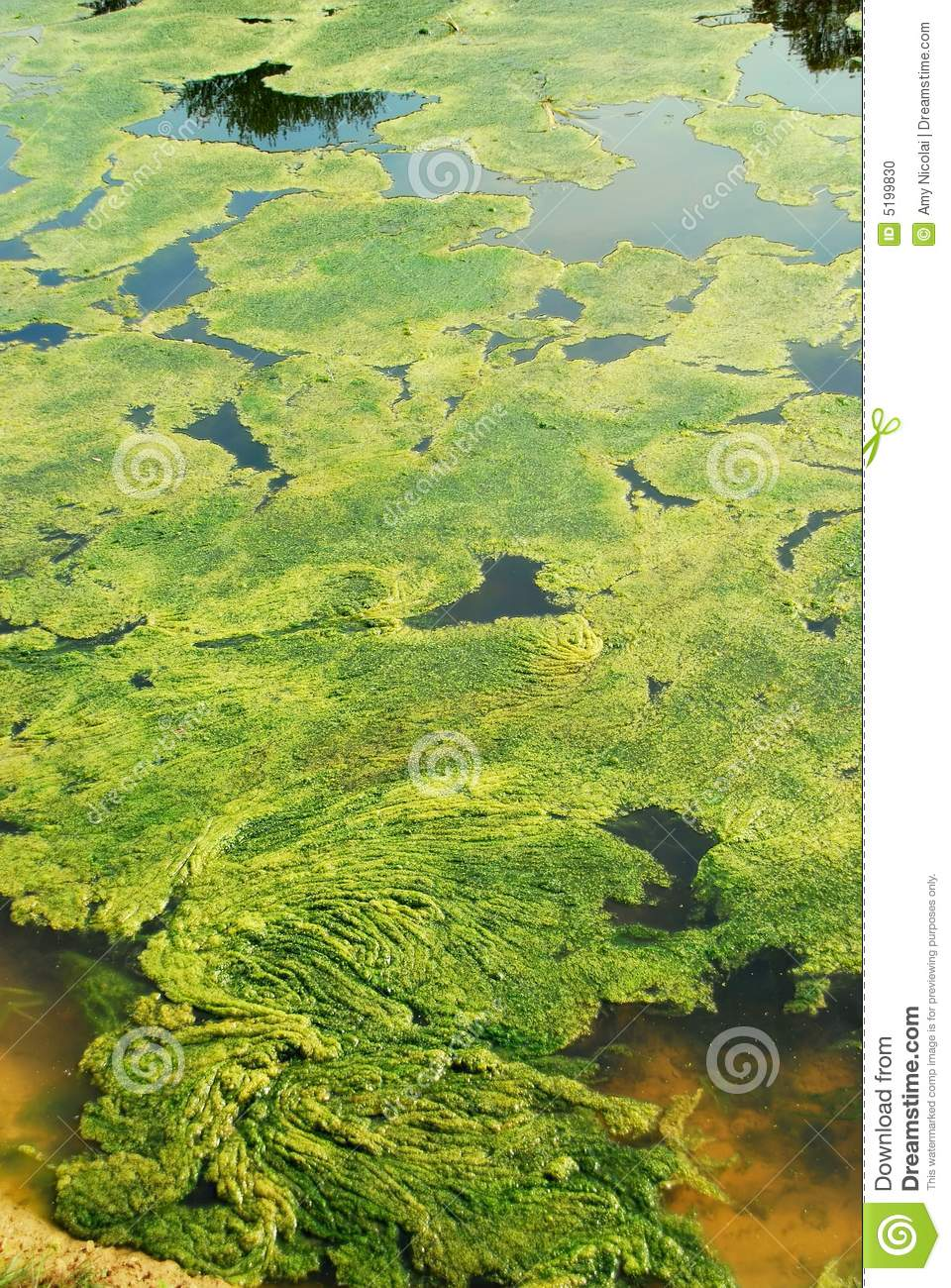 Pond with green algae stock photo image 5199830 for Green water in pond
