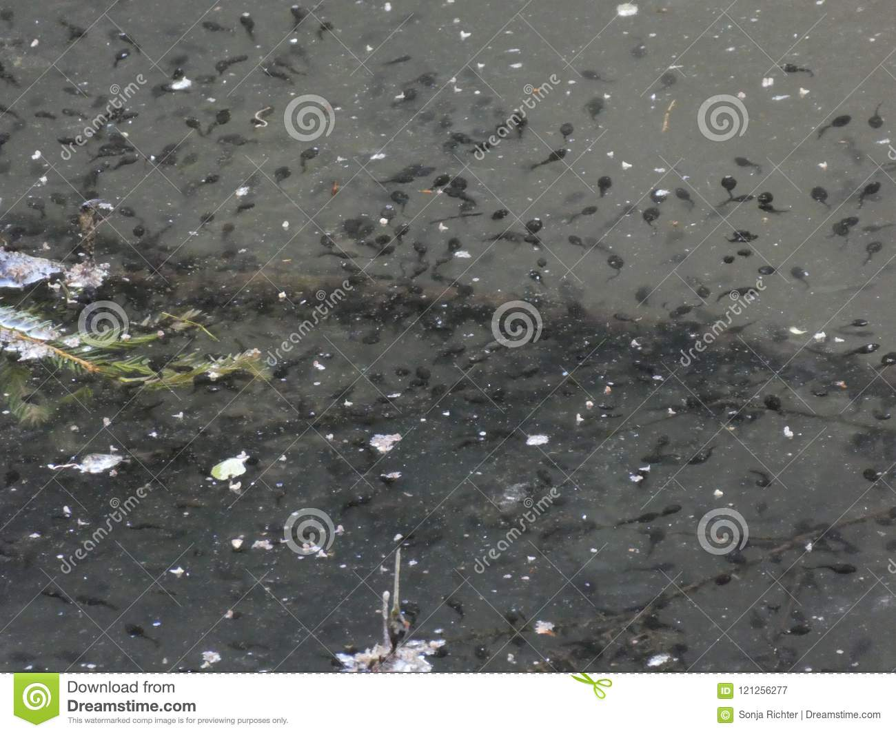 Pond with many tadpoles in the forest