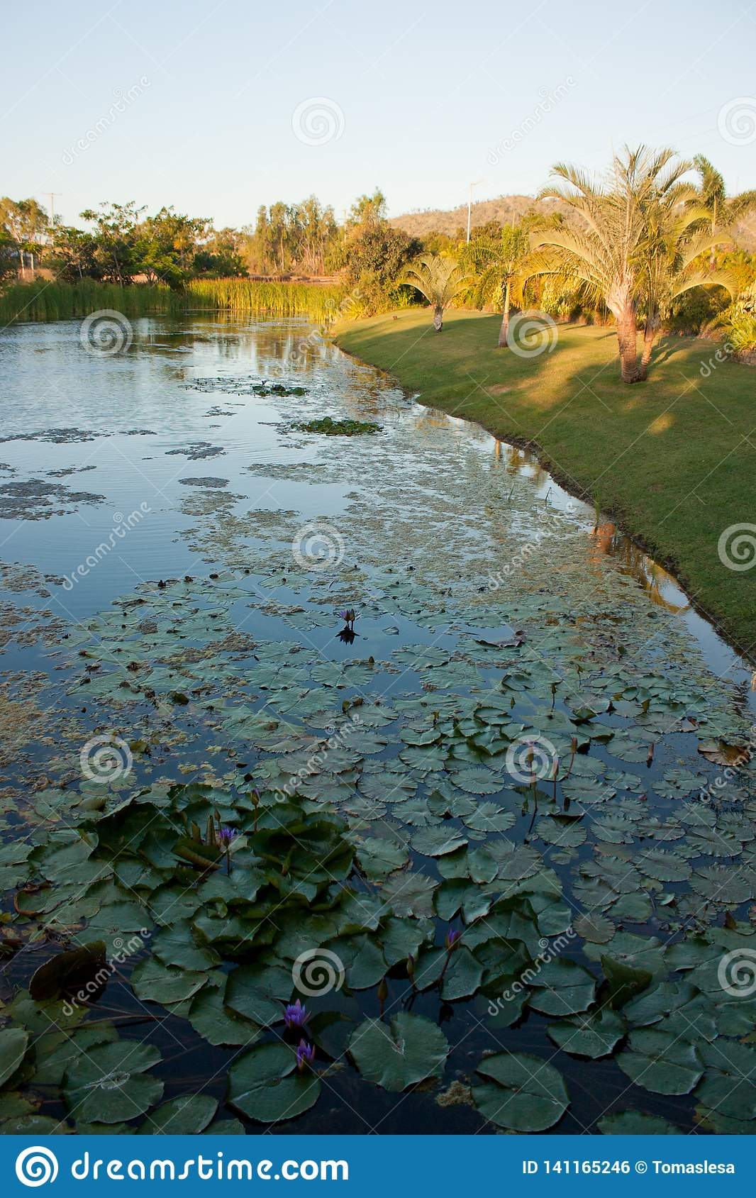 A pond with palm trees on the shore and water lilies in the water in tropical Queensland