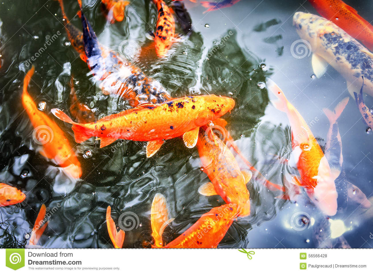 Pond with swimming koi fishes stock photo image of for Koi swimming pool