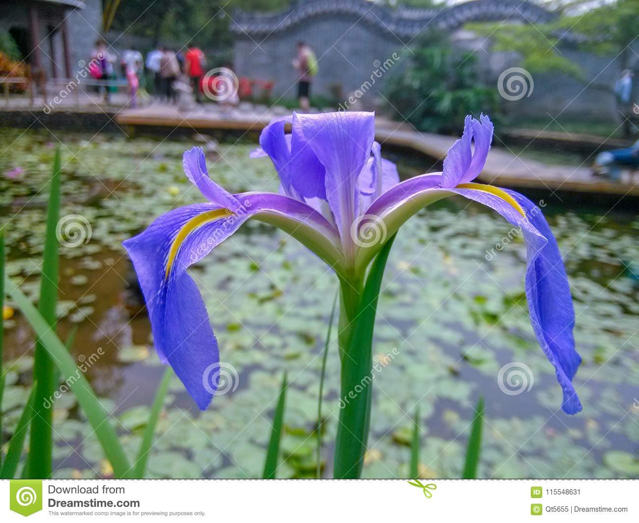 The Pond Was In Full Bloom With A Beautiful Iris Stock Image