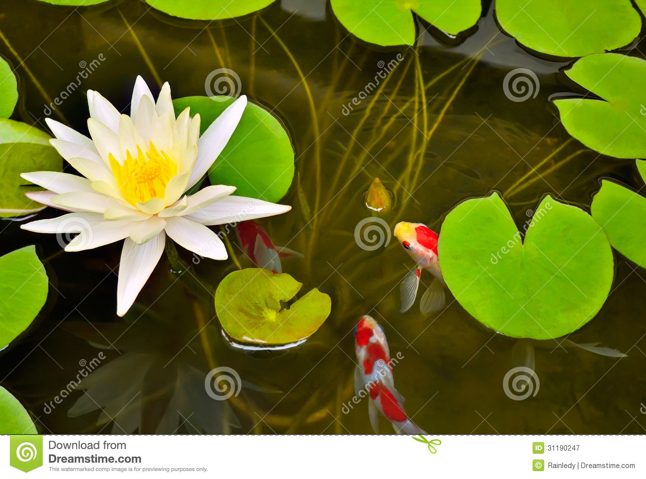 Pond with white waterlily and koi fish royalty free stock for Fishpond uk