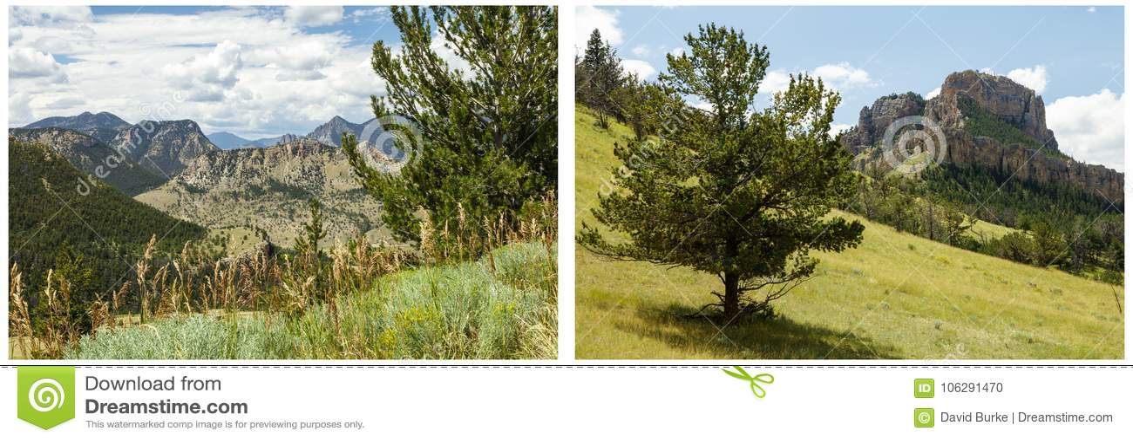 Ponderosa Pine Tree Meadow Grass Hillside Collage Stock ...