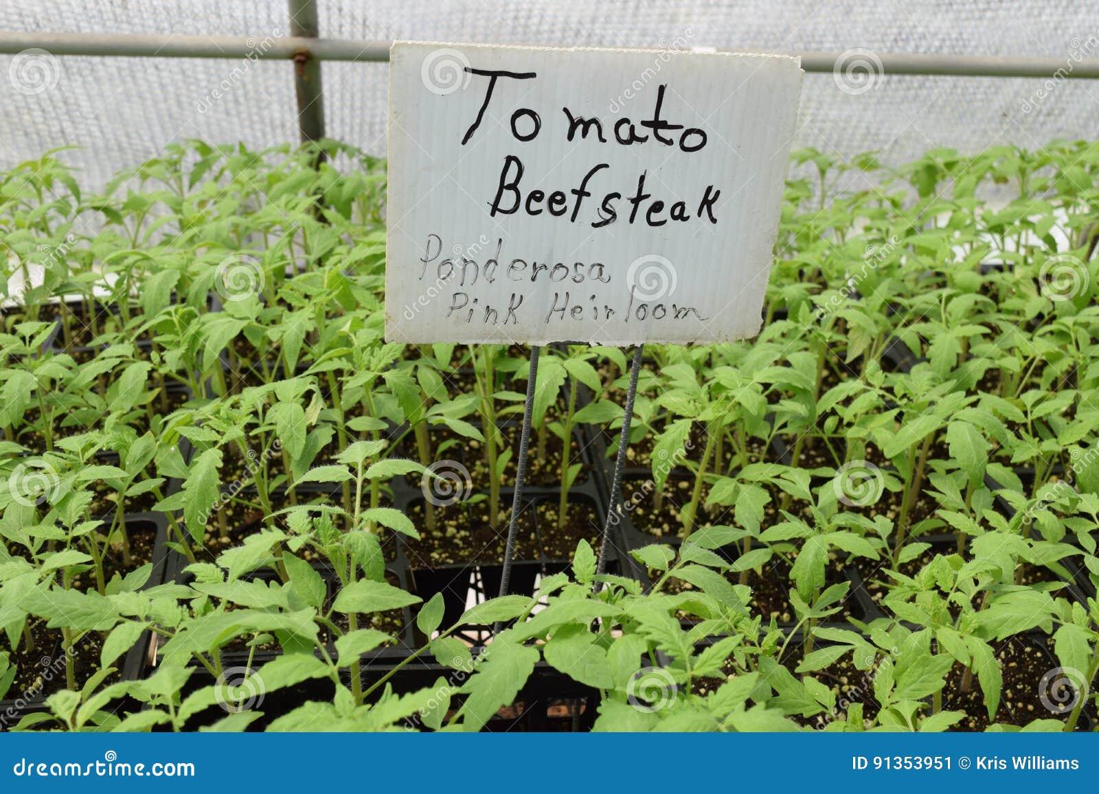 Ponderosa Pink Heirloom Beefsteak tomato seedlings