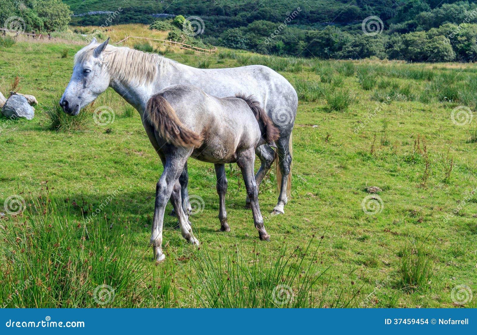 Poney de Connemara