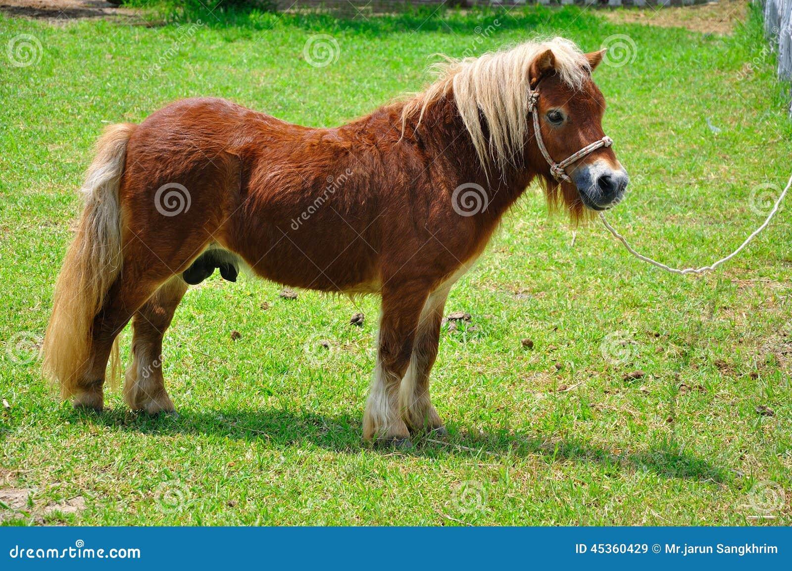Poney de Shetland