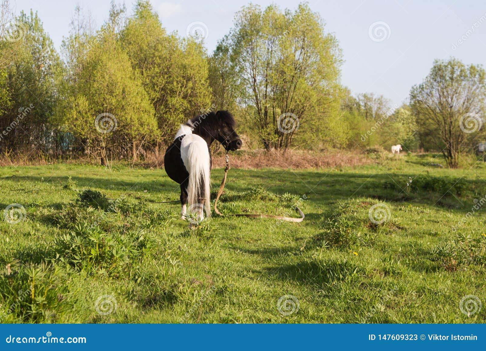 Poney noir et blanc de race de cheval Les chevaux fr?lent dans le pr? Le cheval mange l herbe