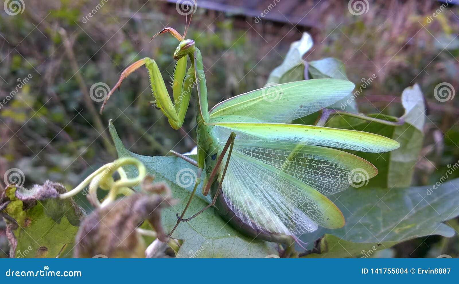 Ponga verde el predicador de rogación Insecto agradable